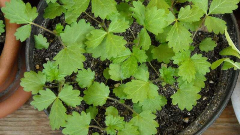 лапчатка семенами выращивание