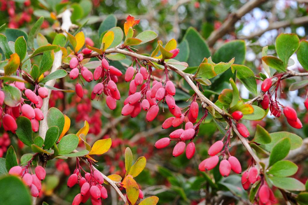 Berberis vulgaris variegata asperma