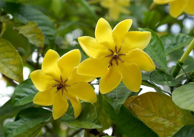 Желтая гардения