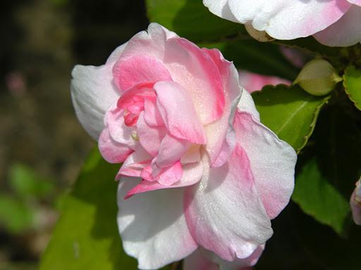 Розовая гардения