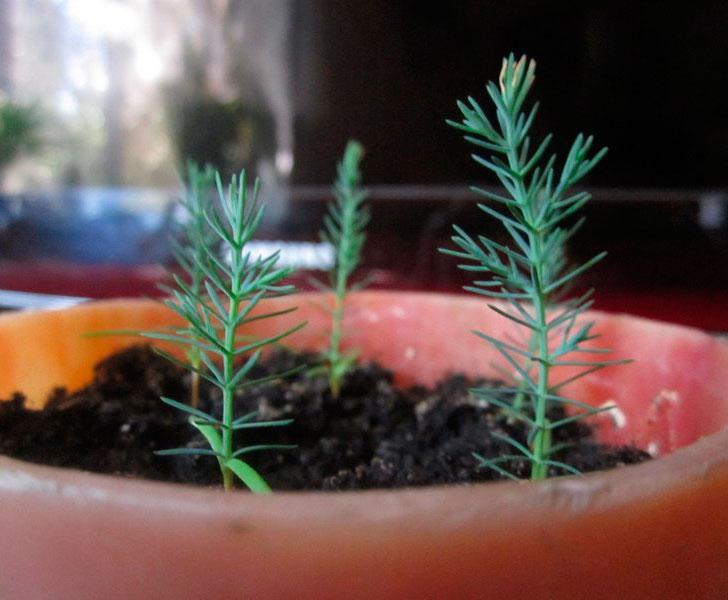 выращивание кипариса из семян