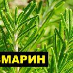 Розмарин: уход и выращивание в открытом грунте, виды и болезни