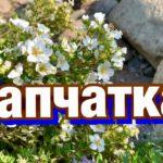 Лапчатка: уход и выращивание в открытом грунте, виды и полезные свойства