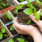 Рассада цветов: сроки посева, подготовка семян и грунта, уход за рассадой