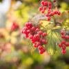 Калина: посадки и ухода в открытом грунте, виды и болезни
