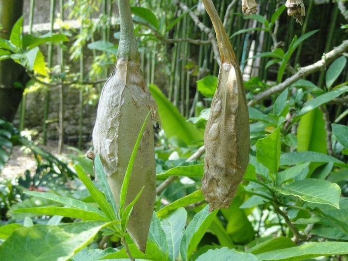 бругмансия семена