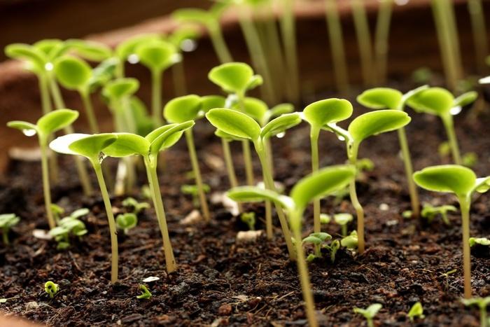 размножение бругмансии семенами