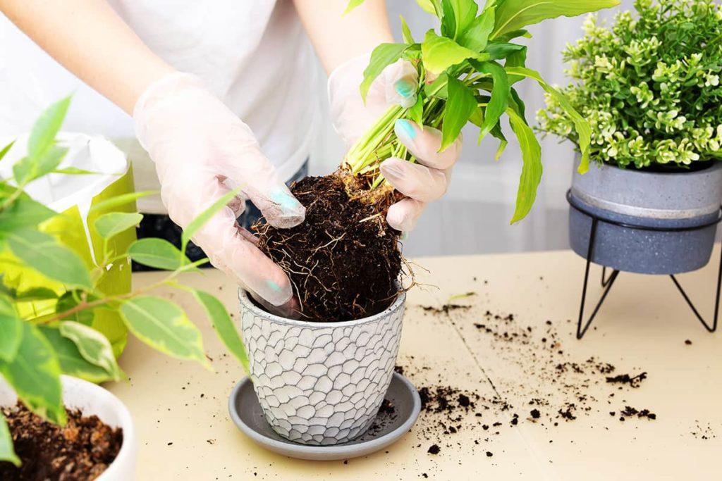 можно ли пересаживать комнатные цветы