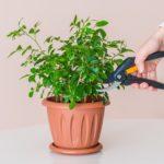 Обрезка домашних цветов: виды, инструменты, уход
