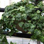 Плющ: уход и выращивание в домашних условиях, виды и болезни