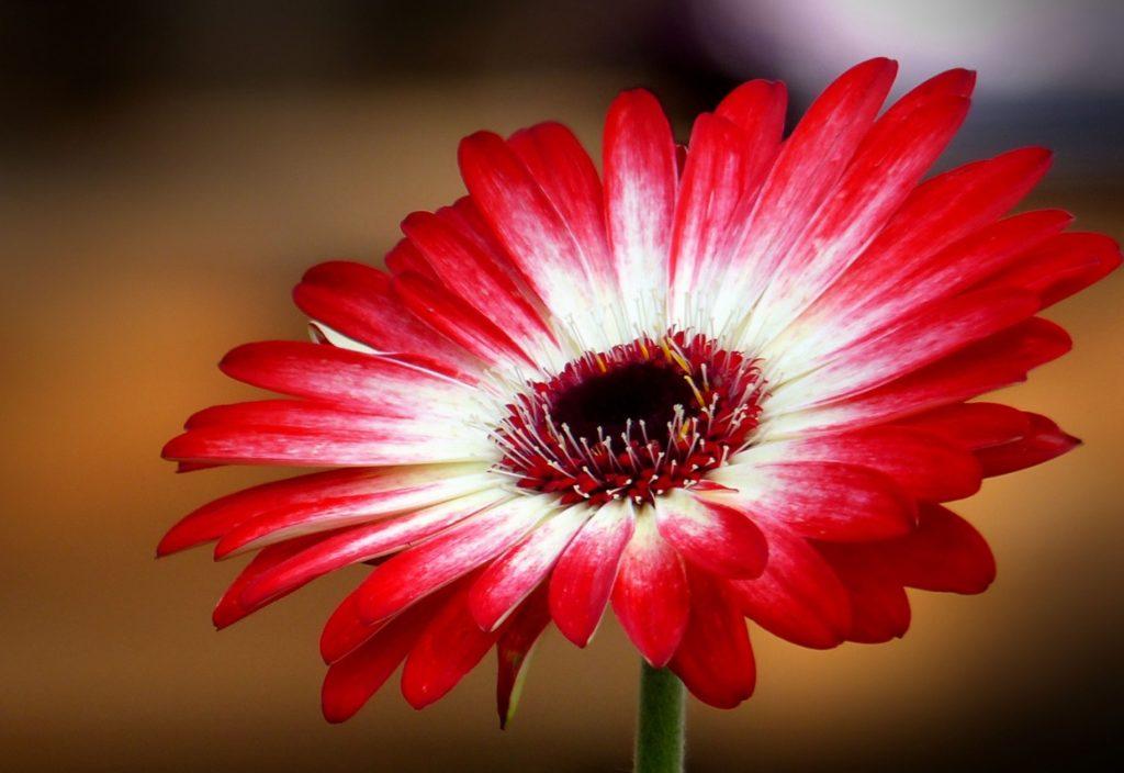 Гербера Дэйзи Ред энд вайт (Gerbera Daisy red and white)
