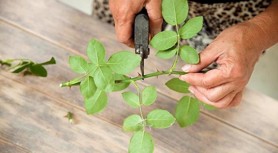 размножение стеблевыми черенками