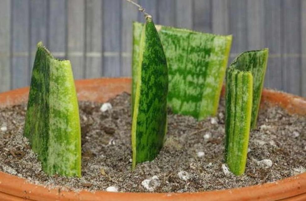 комнатное растение размножение листовыми черенками