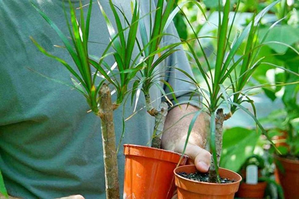 ухаживать за комнатным растением после обрезки
