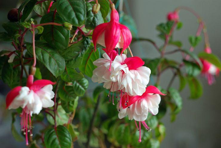тенелюбивые многолетние растения