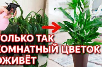 Как реанимировать домашний цветок: засыхающий, замерзший, залитый в домашних условиях