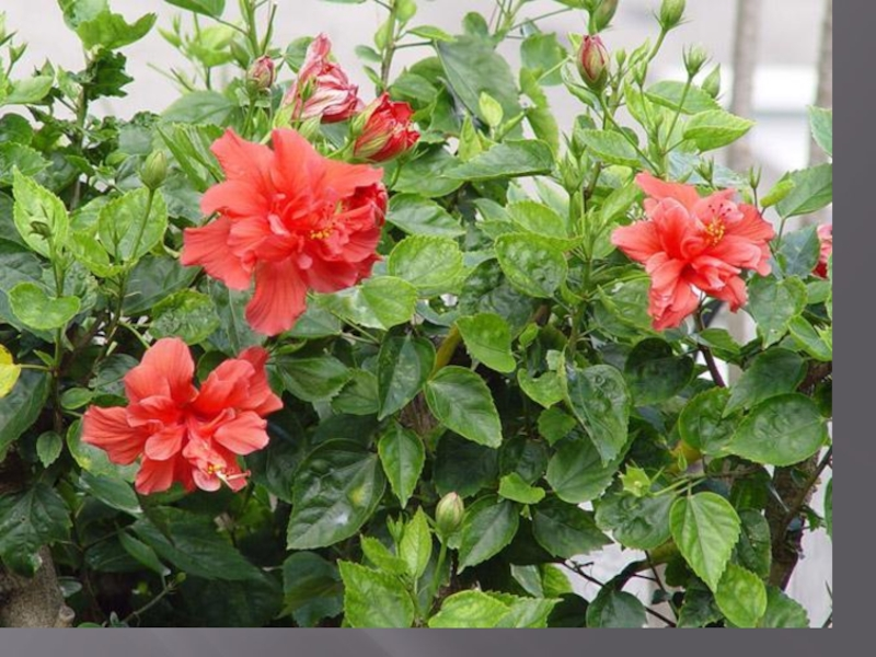 Китайская роза