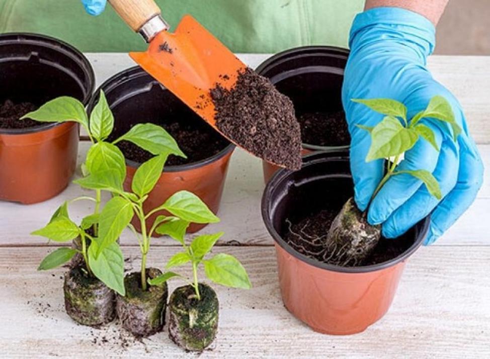 как поливать рассаду в торфяных таблетках