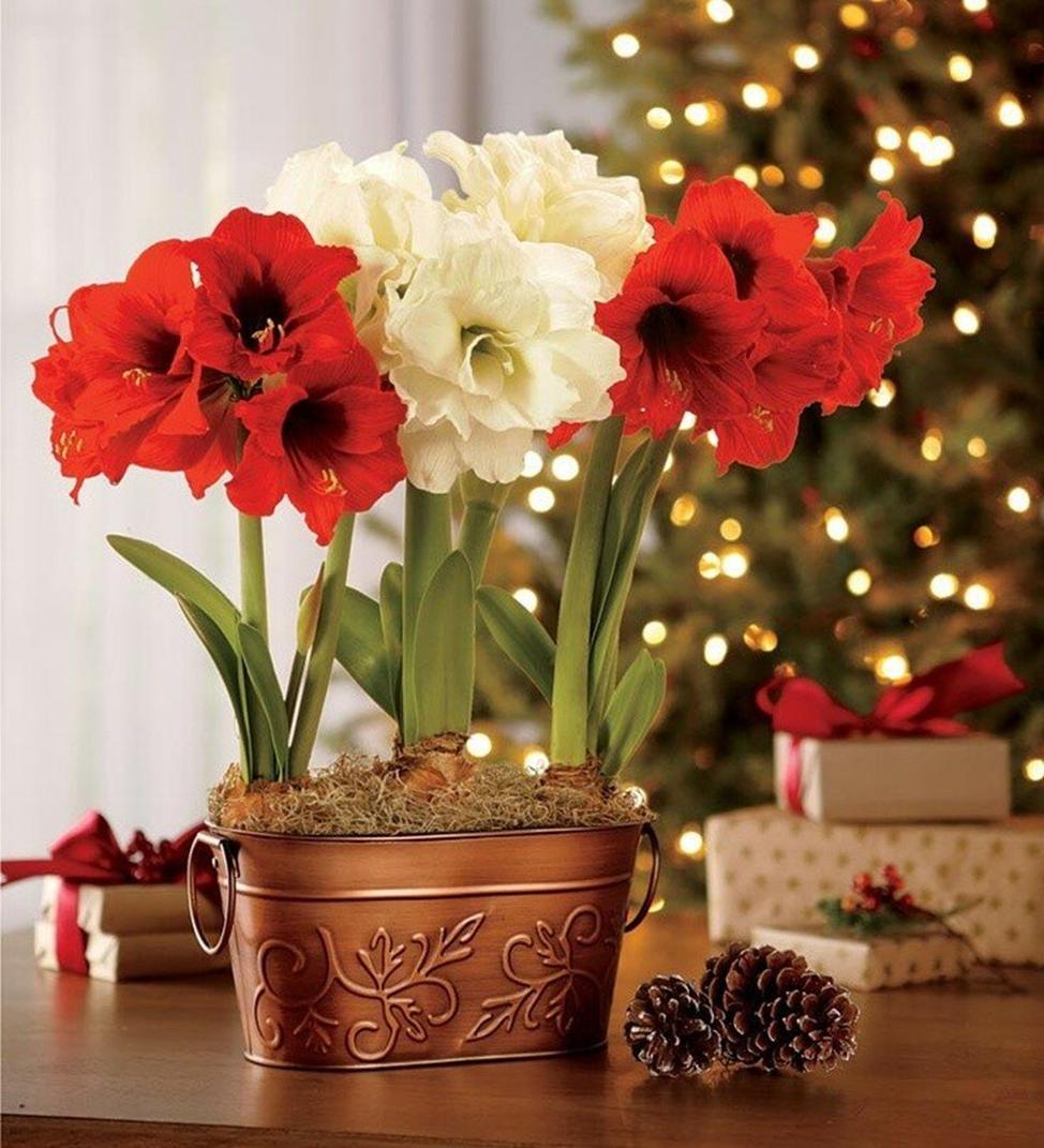 домашний цветок гиппеаструм