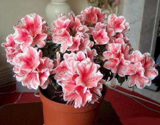 светолюбивые хвойные растения