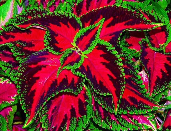 сосна светолюбивое растение