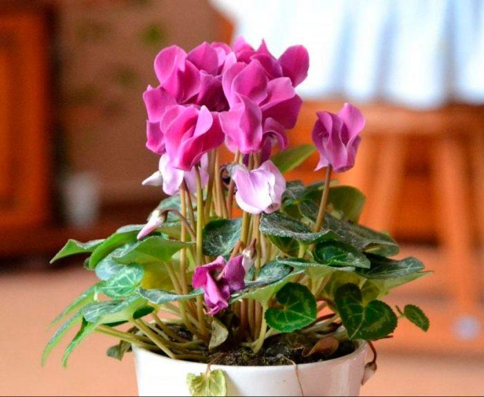 цикламен цветение