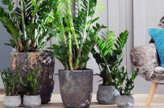 Замиокулькас: уход и выращивание в домашних условиях, виды, болезни