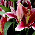 Лилии: уход и посадка в открытом грунте, выращивание и виды