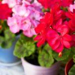 Пеларгония: уход и выращивание в домашних условиях, виды и болезни