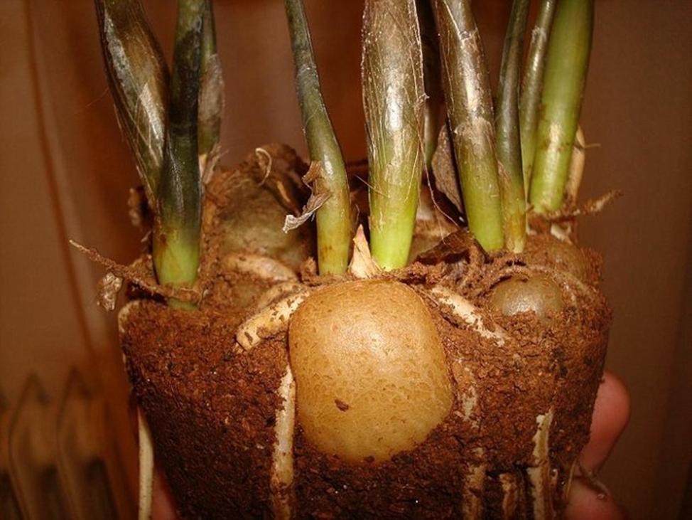 Размножение замиокулькас