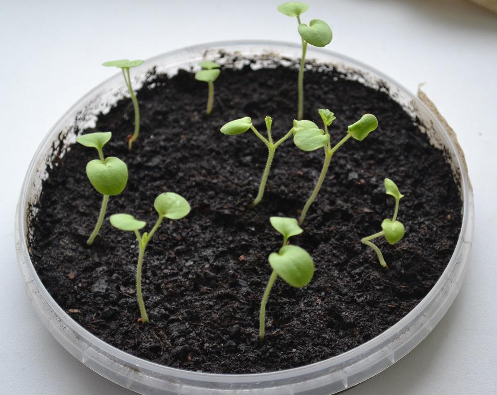 Семена Пеларгонии