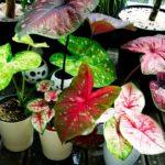 Каладиум: уход и выращивание в домашних условиях, виды, болезни