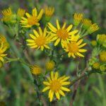 Крестовник: уход и выращивание в домашних условиях, виды, болезни