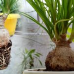 Нолина (Бокарнея): уход и выращивание в домашних условиях, виды и болезни