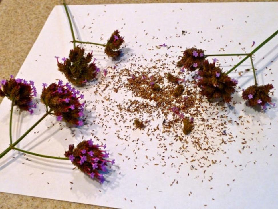 Вербена цветение