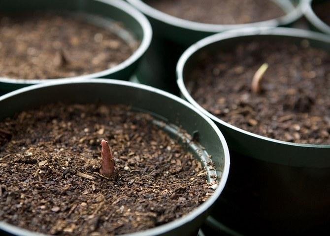 каладиум из семян