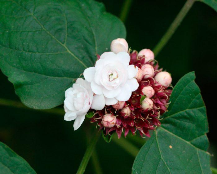 Clerodendrum philippinum