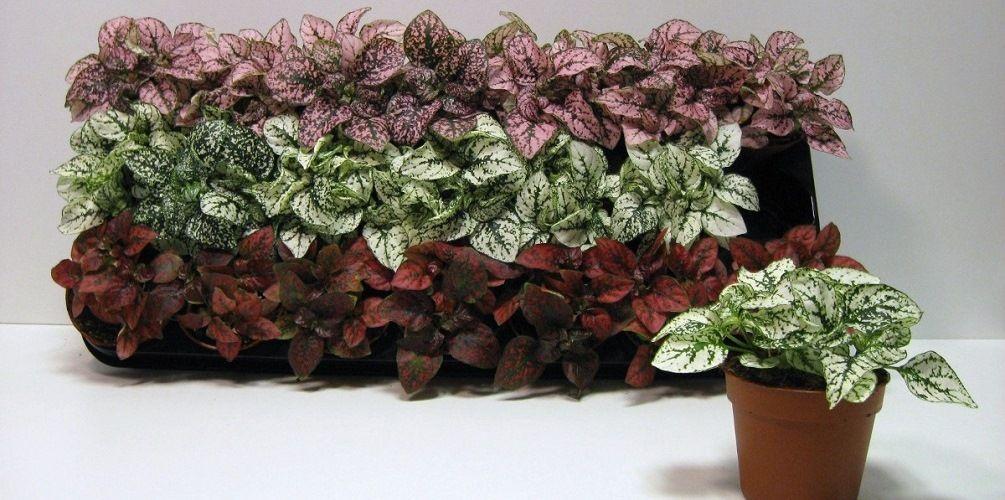 цветок гипоэстес уход в домашних условиях