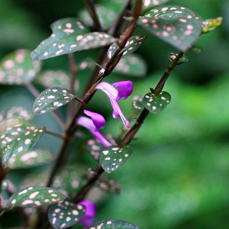 Цветение Гипоэстес
