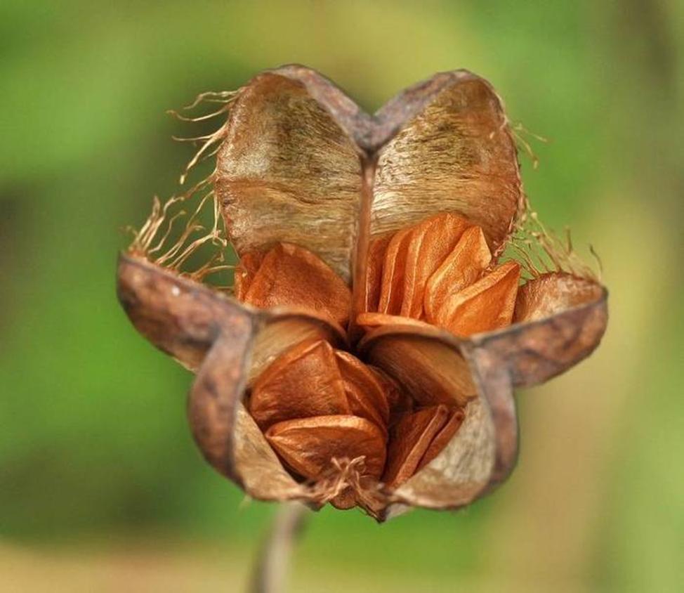 Размножение семенами рябчика