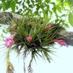 Тилландсия: уход и выращивание в домашних условиях, виды и болезни