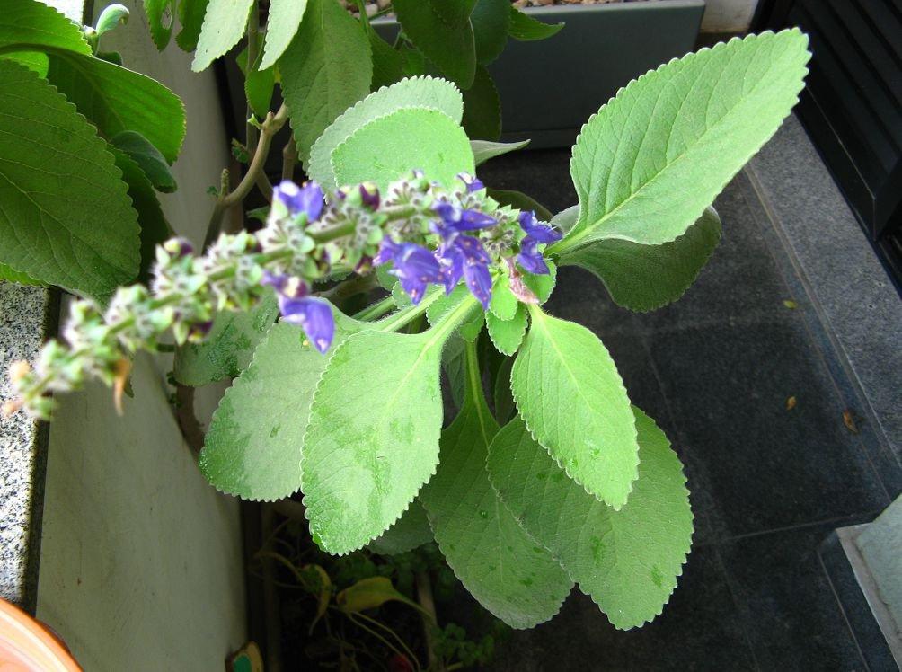 Плектрантус цветение