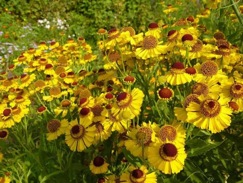 цветы гелениум уход