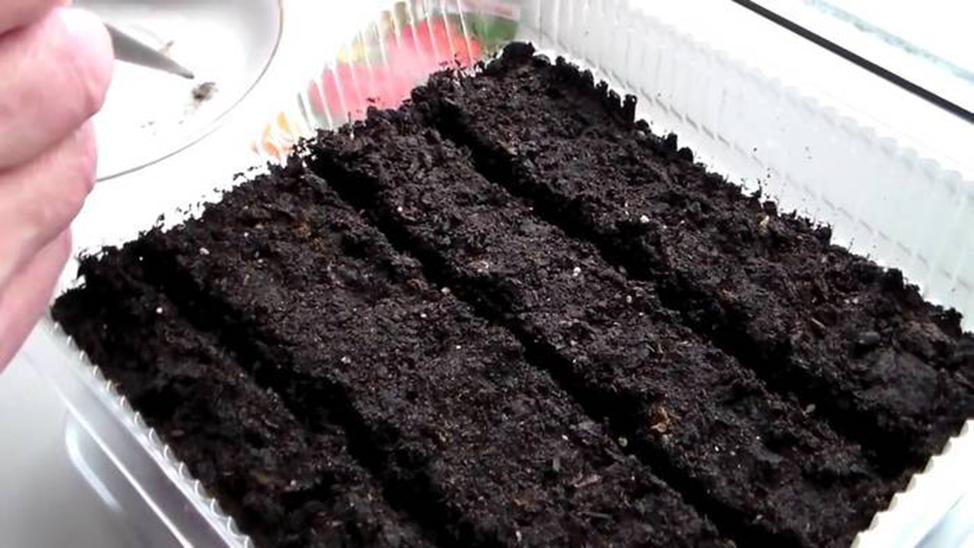 Выращивание гелениума